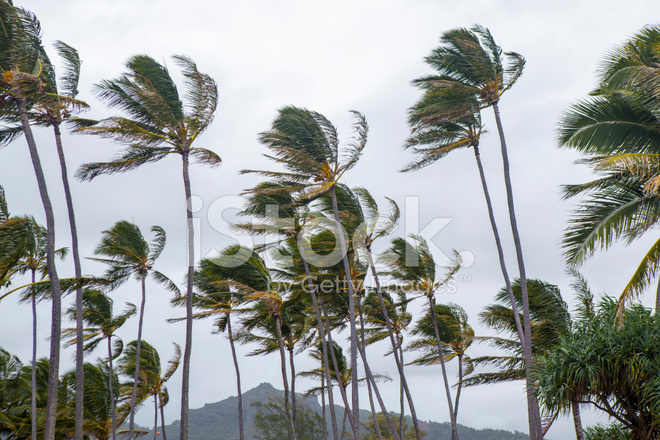 Palm Trees Blowing In The Wind During Tropical Storm Stock