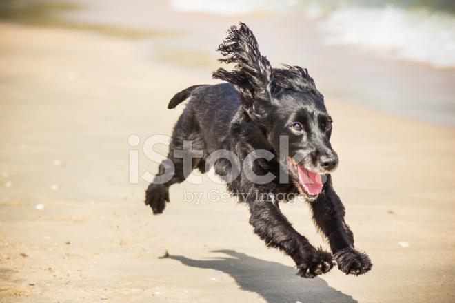 cocker spaniel running on beach stock photos freeimagescom