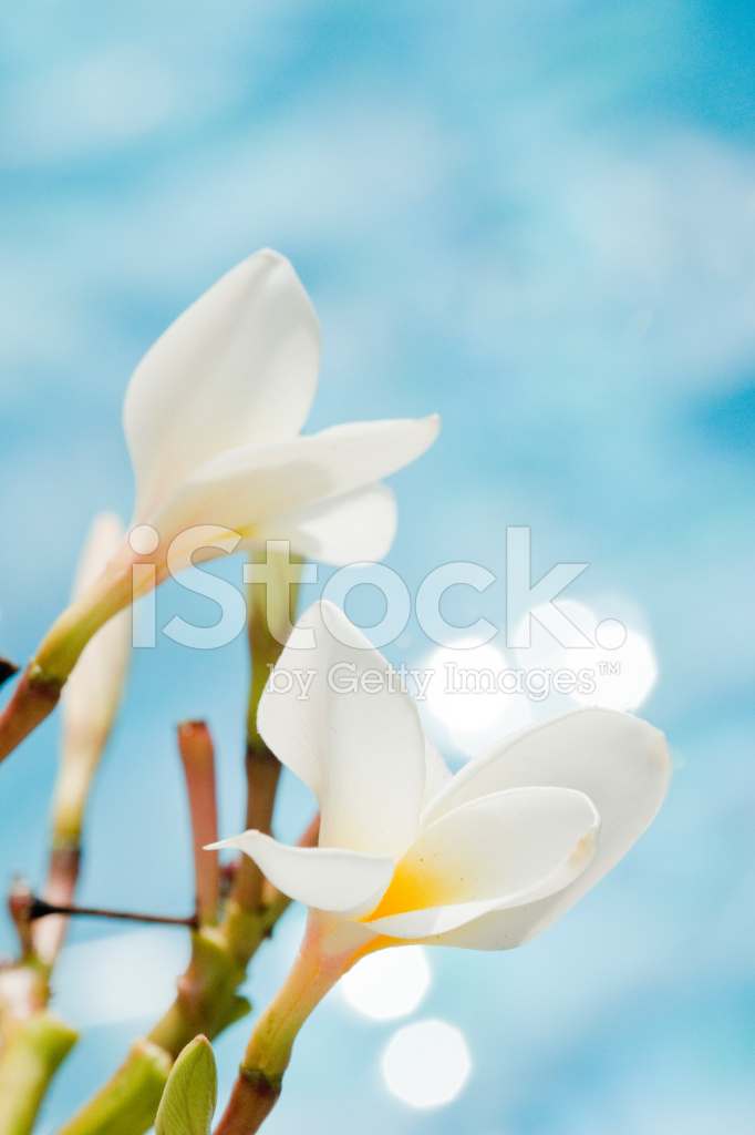 Fiori Di Plumeria Su Sfondo Blu Fotografie Stock Freeimagescom