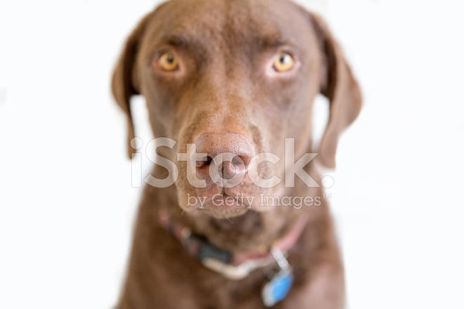 коричневая большая собака