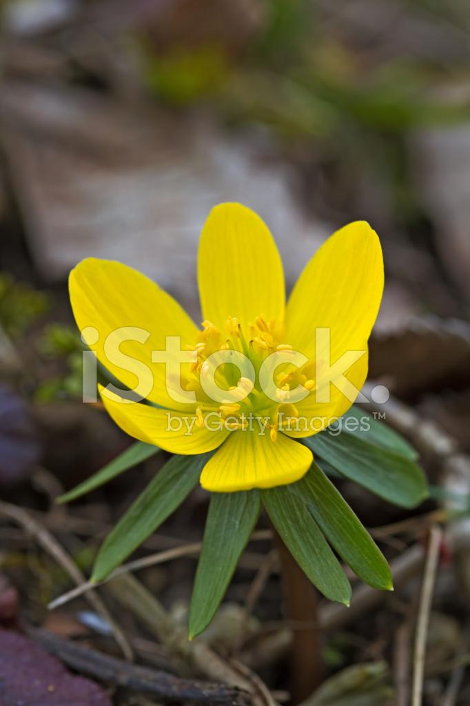 Tek çiçek Açan Kış Bilinen Bir Bahçe Stok Fotoğrafları Freeimagescom
