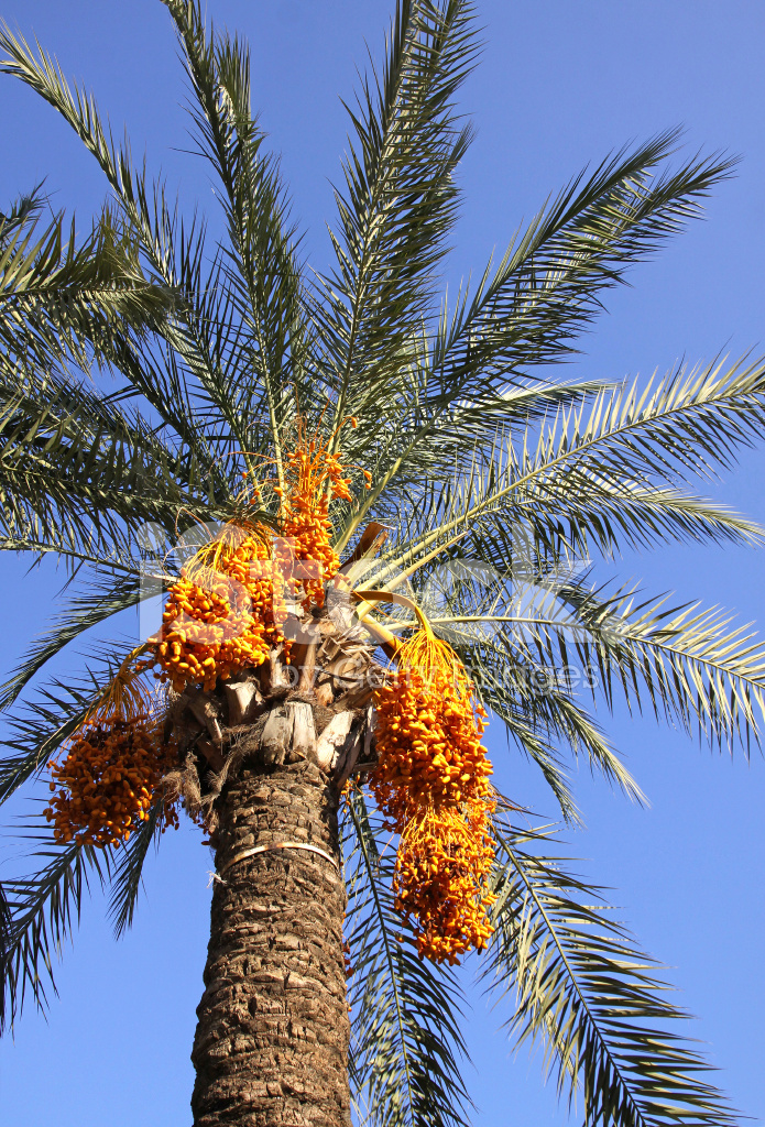 Date Palm Tree With Dates Stock Photos Freeimagescom
