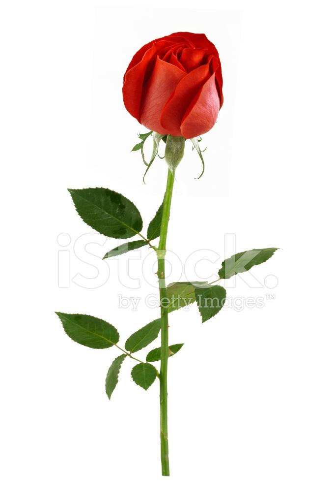 Natural red rose rose petals began to open stock photos for Individual rose petals