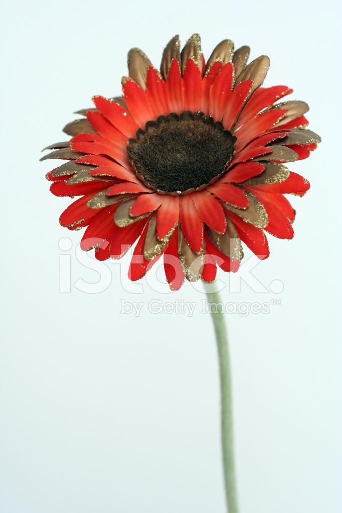 flor de gerbera fotografías de stock freeimages com