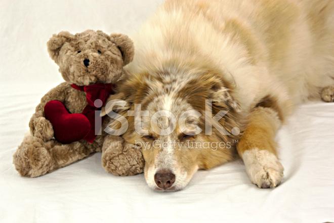 Hund Schläft Auf Valentine Teddy Bear Stockfotos Freeimagescom