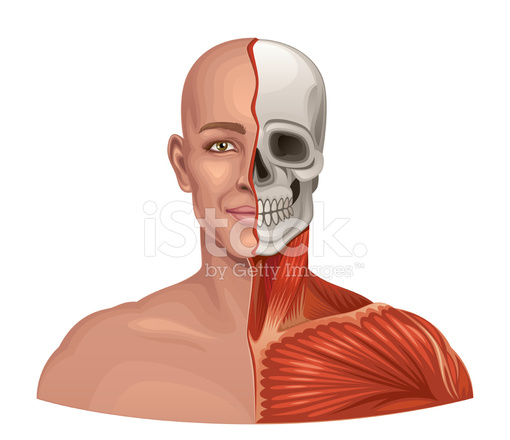 Human Anatomy Facial Muscles and Skull Stock Vector - FreeImages.com