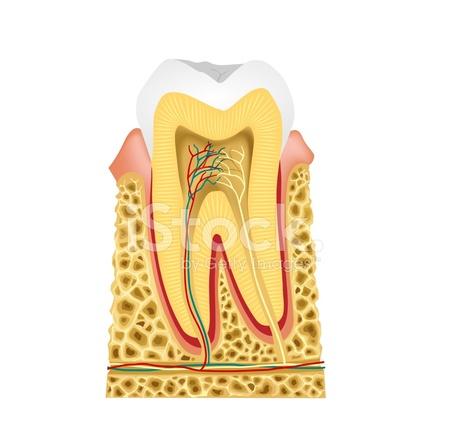 Längsschnitt Im Zahn Zahn Anatomie Stock Vector - FreeImages.com