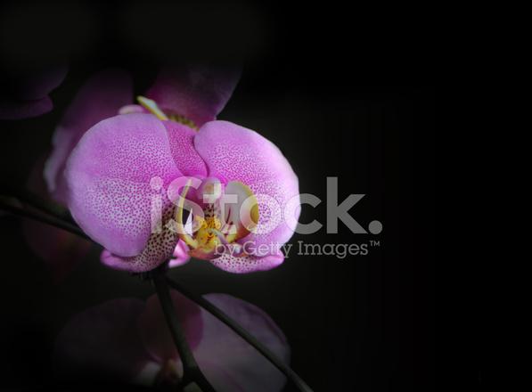 Sfondo Nero Con Rosa Orchidea Fotografie Stock Freeimagescom