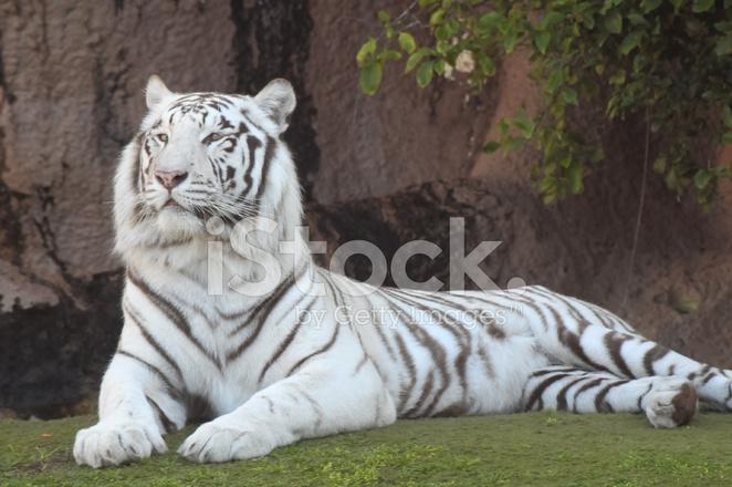 Black and white striped tiger stock photos - Tiger stripes black and white ...