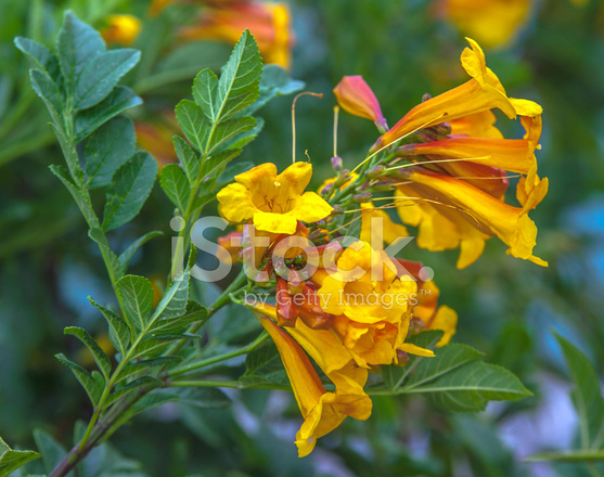 Yellow Trumpet Vine Yellow Trumpet Creeper Campsis Radicans Stock