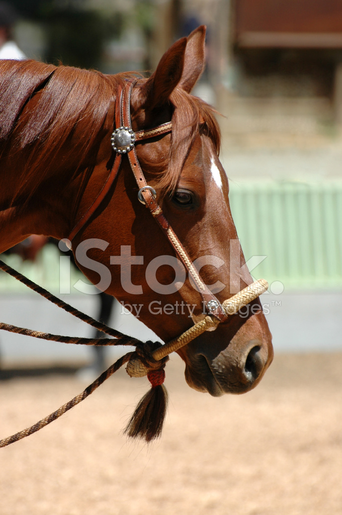 Hackamore On Chestnut Horse Stock Photos Freeimages Com