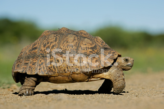 Mountain Tortoise Stock Photos Freeimages Com