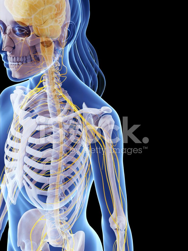 Weibliche Knochen UND Nerven Schulter Stockfotos - FreeImages.com