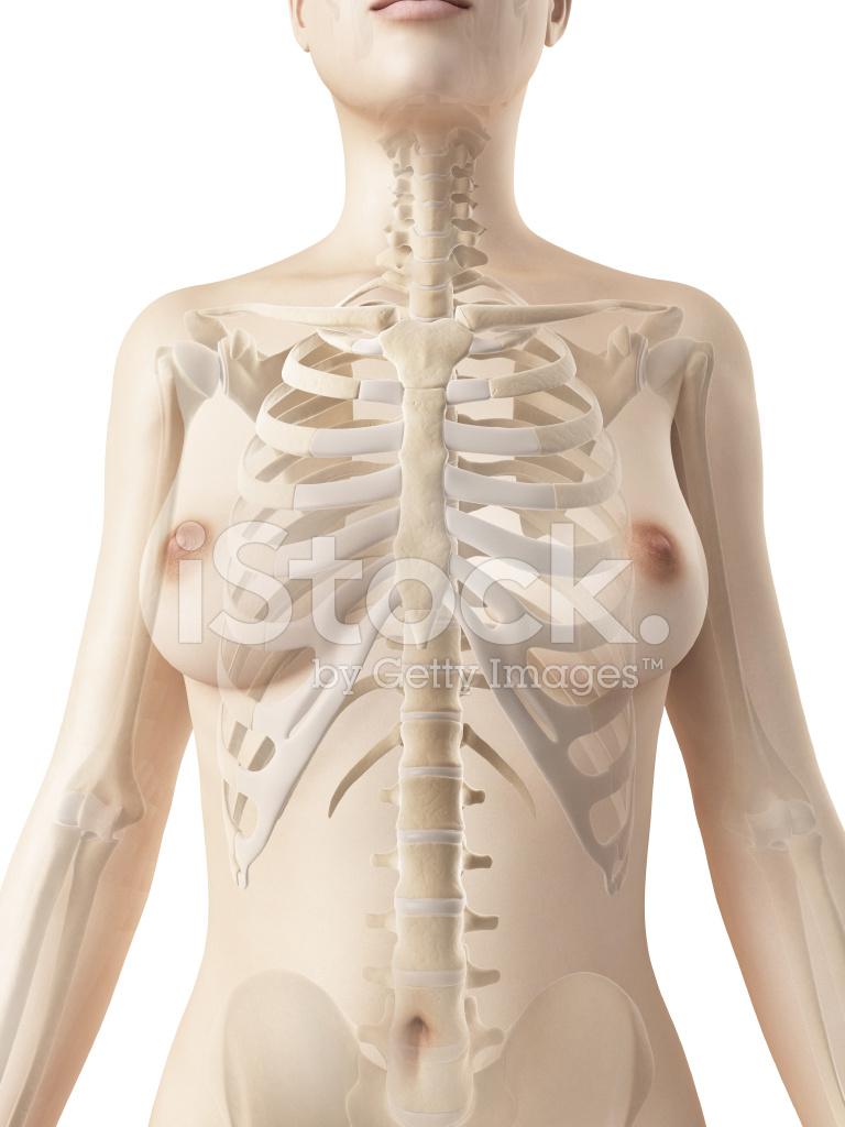 Weibliche Skelett Thorax Stockfotos - FreeImages.com