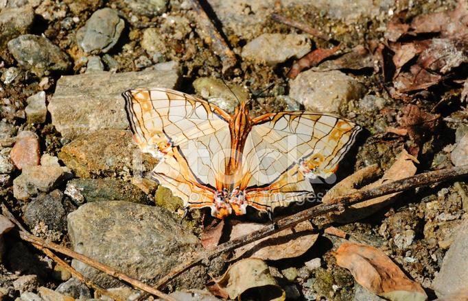 Indian Flag Butterflies: Cyrestis Thyodamas Butterfly, Sikkim, India Stock Photos