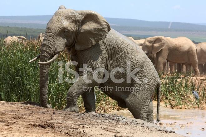Arrampicata Elefante Fuori Dal Bagno Di Fango Fotografie stock ...