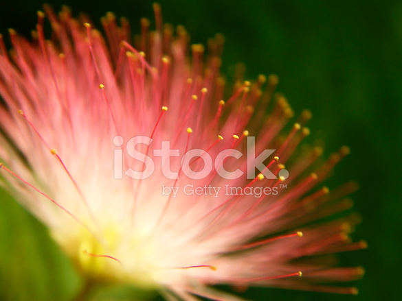 Pink Mimosa Bloom Stock Photos Freeimages