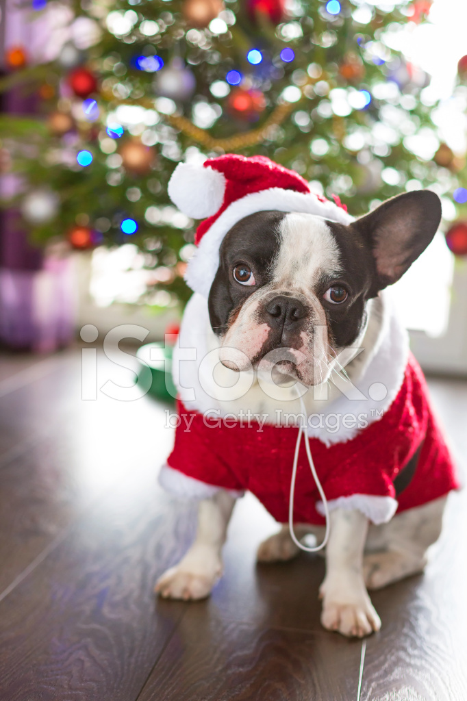 french bulldog dressed up french bulldog dressed up in santa costume stock photos 7796