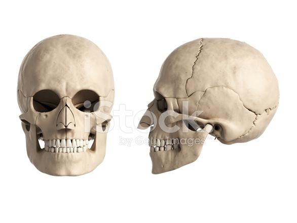 Schädel Anatomie Stockfotos - FreeImages.com