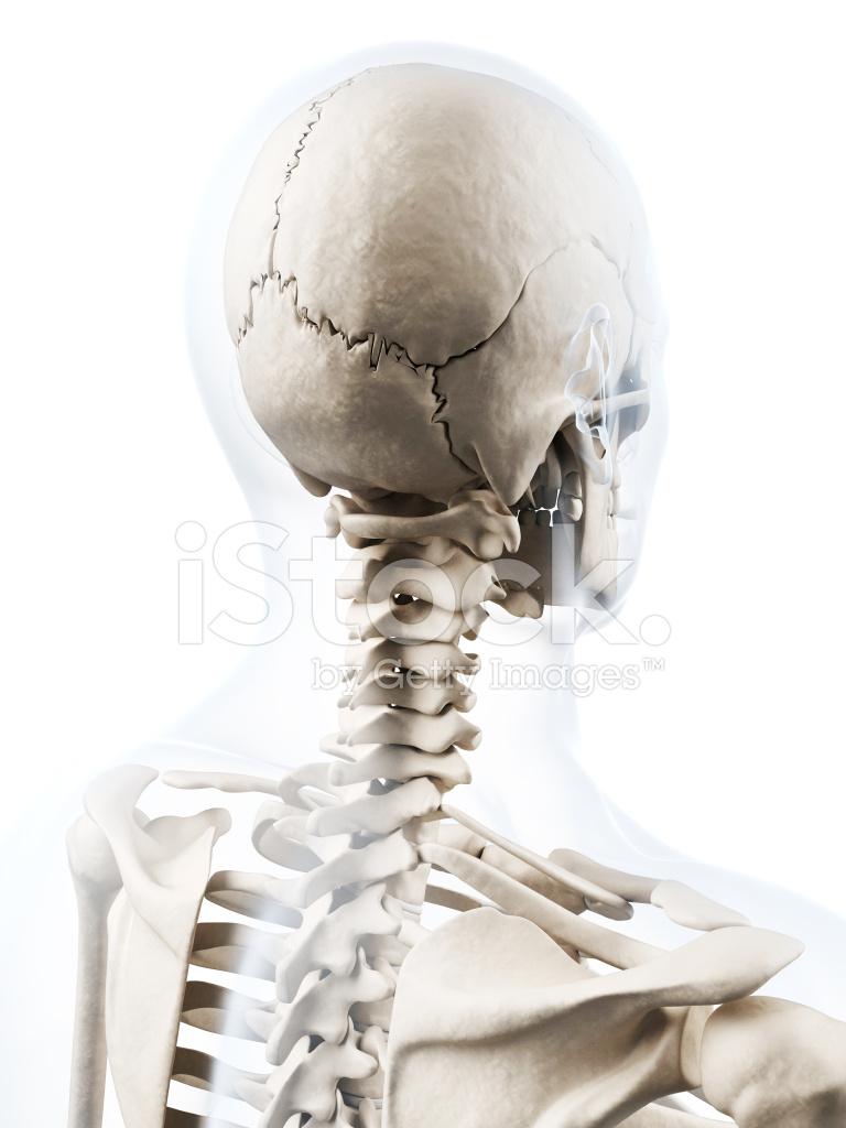 Menschliche Knochen Schädel UND Hals Stockfotos - FreeImages.com