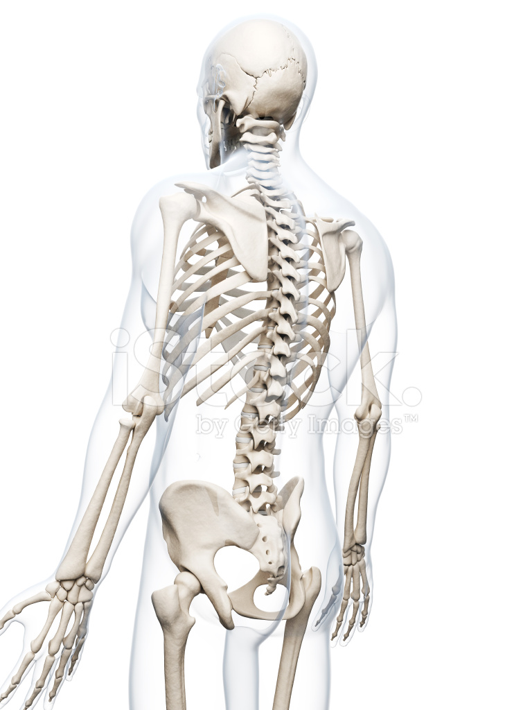 Menschliche Knochen Zurück Stockfotos - FreeImages.com