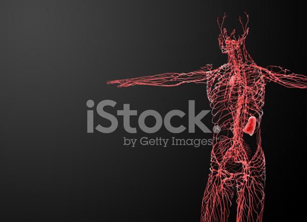 Lymphsystem Seitenansicht Stockfotos - FreeImages.com