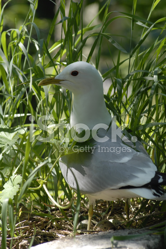 Seagull AT Her Nest Stock Photos - FreeImages com