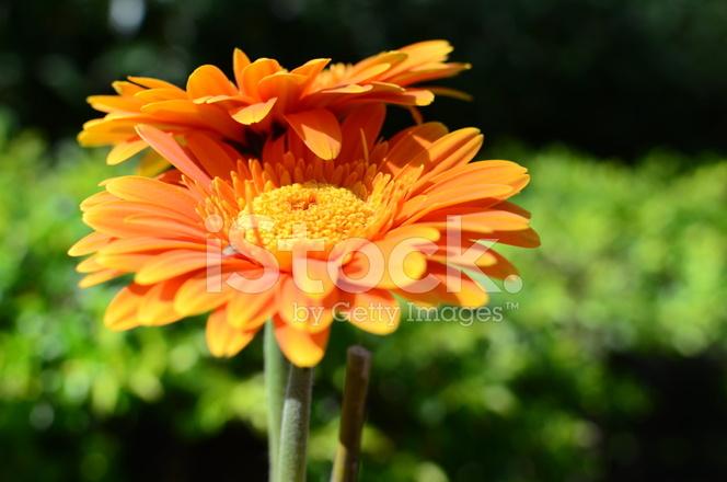 flor gerbera laranja fotos do acervo freeimages com