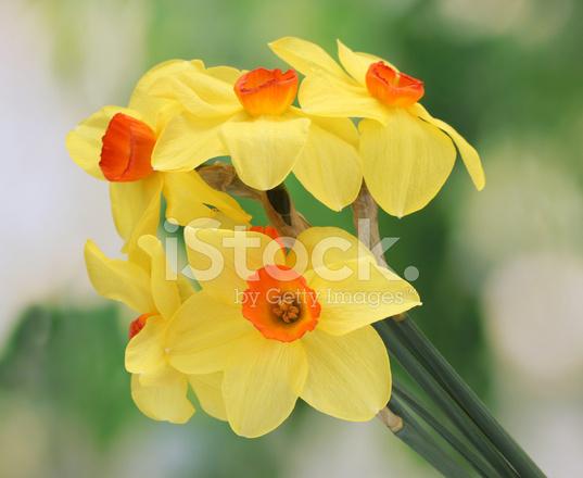 Hermosos Narcisos Amarillos Sobre Fondo Verde Fotografias De Stock - Narcisos-amarillos