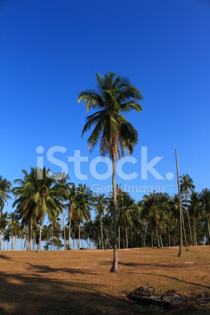 Wiersz Kokosowe Drzewo Zielony Liść I Niebieski Niebo Słońce
