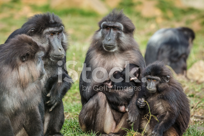 Tonkean Macaque Family Stock Photos Freeimages Com