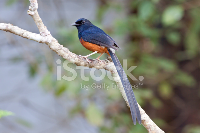 White rumped shama bird of thailand stock photos