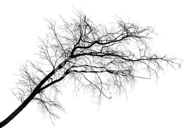 premium stock photo of silhouette noire dinclinaison arbre sans feuilles isol sur blanc - Arbre Sans Feuille