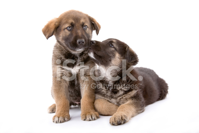 Two Cute Puppies Brothers Isolated On White Background Stock