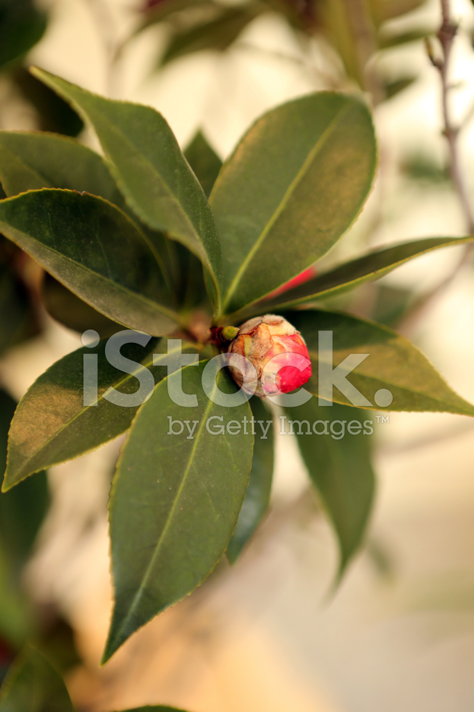 Chinese Herbal Medicine Camellia Japonica L Stock Photos