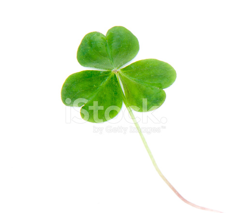 Single Green Shamrock Three Leafed Clover Isolated On White Stock