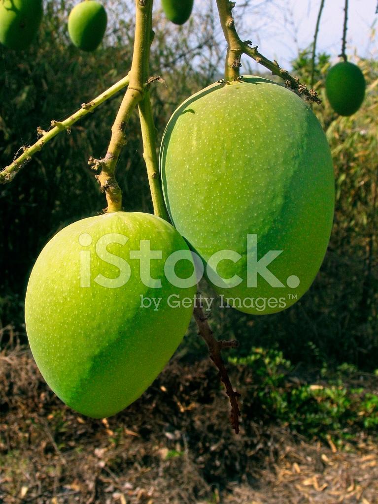 36661548 alphonso mangoes mangifera indica l hanging on a tree