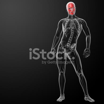 3d Render Menschlicher Schädel Anatomie Stockfotos - FreeImages.com
