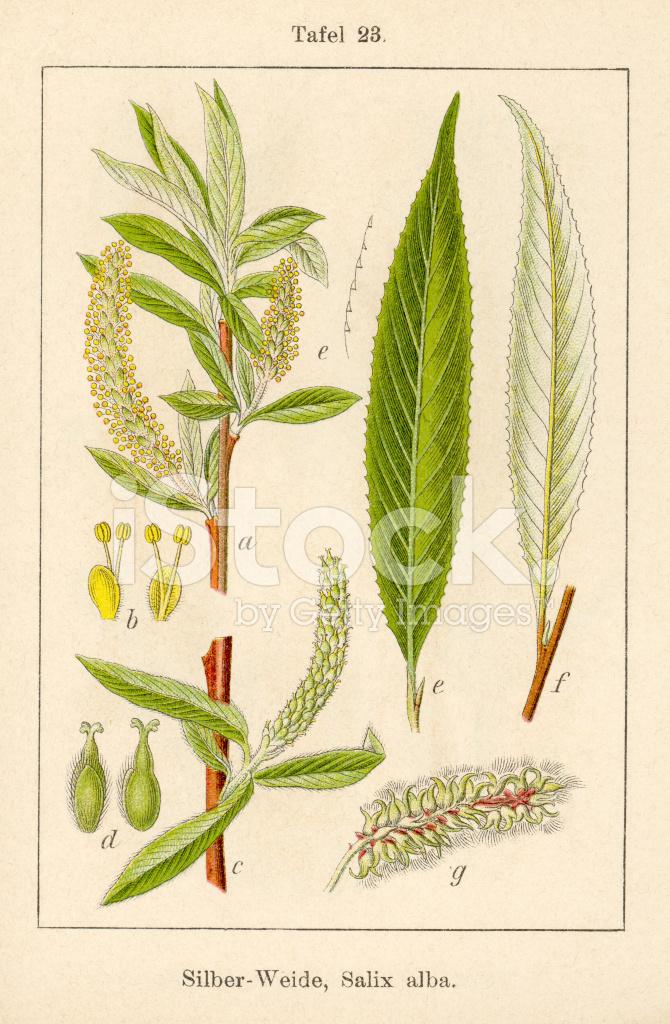 salix muslim Salicylic acid: a plant hormone edited by s hayat department of botany aligarh muslim university aligarh 202002 female branch of salix tetrasperma roxb.