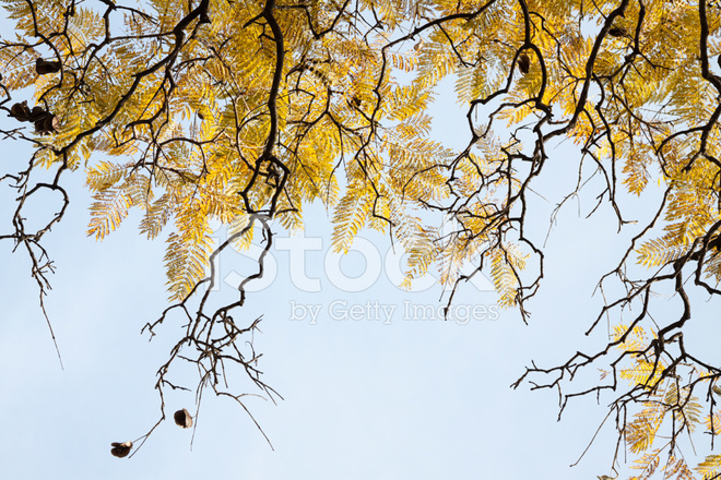 Old Leaves And Branches Of A Jacaranda Tree Stock Photos