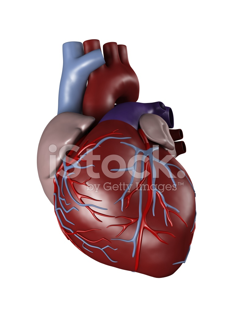 Human Heart for Medical Study Stock Photos - FreeImages.com
