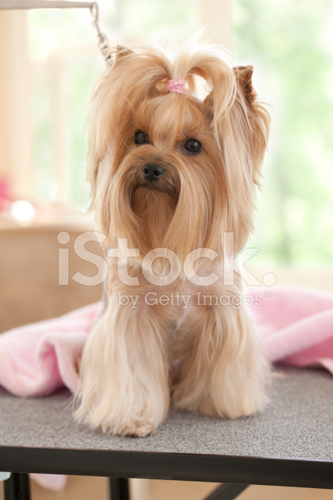 Yorkshire Terrier Day At The Groomer Spa Stock Photos Freeimages Com