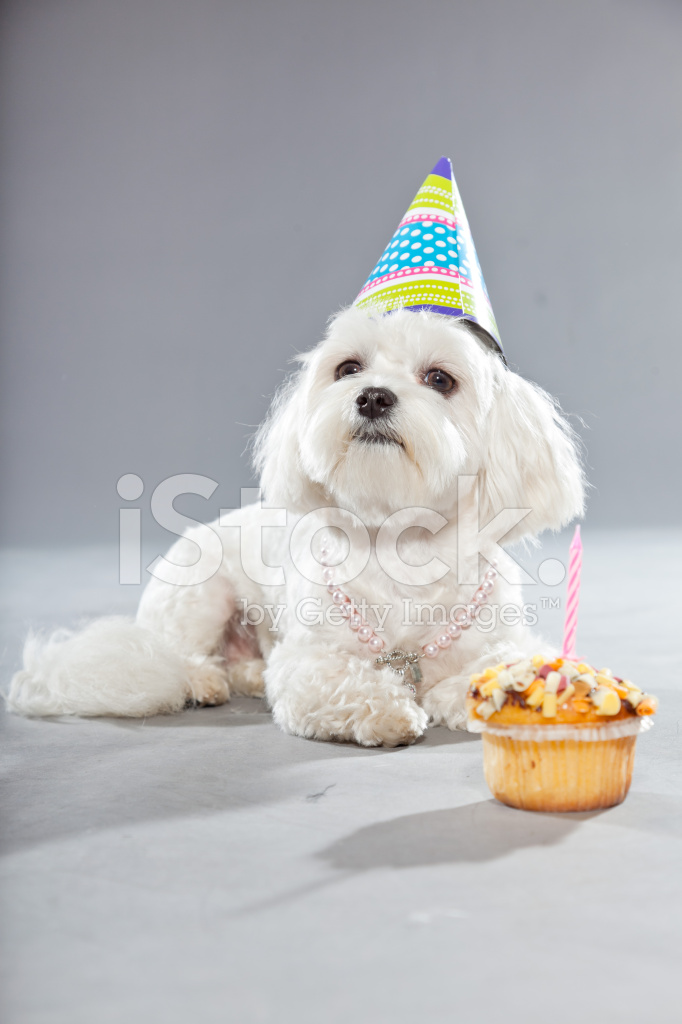 Grappige Malteser Verjaardag Hond Met Taart En Studio Stockfoto S