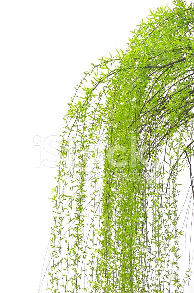 Цветы ивы плакучей