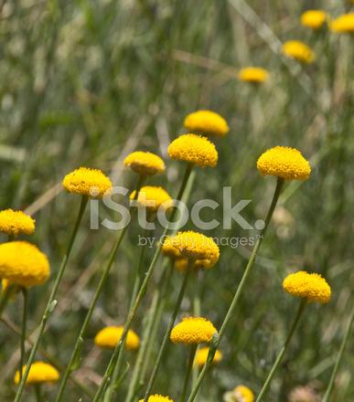 Flores Silvestres Amarillas Meciendose En El Viento Fotografias De