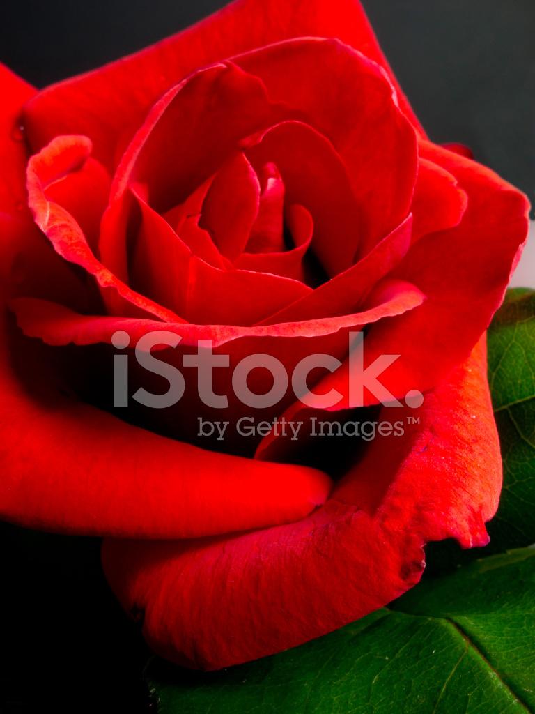 Petalo Di Una Rosa Rossa Bella Fotografie Stock Freeimagescom