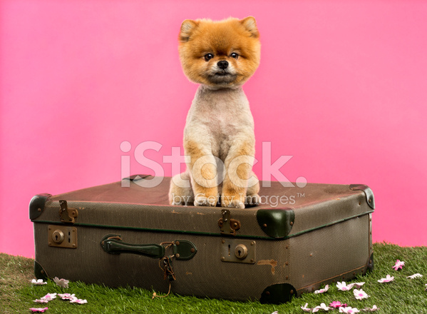 Grommed Pomeranian Dog Sitting On An Old Suitcase Stock Photos