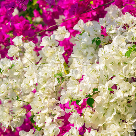Beautiful Small Pink And White Flowers Stock Photos Freeimages