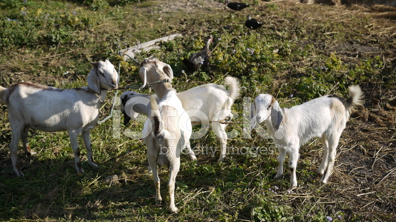 Goats IN Farm AT Nepal Village, Chitwan Stock Photos - FreeImages com