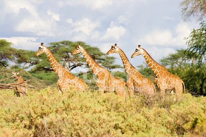 Wiersz 4 żyrafa Zdjęcia Ze Zbiorów Freeimagescom